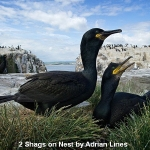 Shags on Nest by Adrian Lines, Chorley