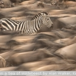 Zebra in a Sea of Wildebeest by Alan Walker, Keswick