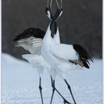 Courting Red Crowned Cranes by Ronnie Gilbert, Keswick