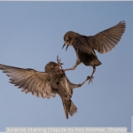 Juvenile Starling Dispute by Roy Rimmer, Chorley