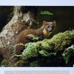 Pine Marten by Philippa Wheatcroft, Smethwick
