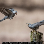 Cuckoo Aggression by Ronnie Gilbert, Keswick