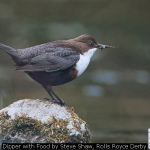 Dipper with Food by Steve Shaw, Rolls Royce Derby