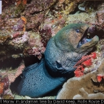 Giant Moray in Andaman Sea by David Keep, Rolls Royce Derby