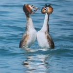 Great Crested Grebe Weed Dance by Gianpiero Ferrari, Rolls Royce Derby