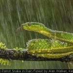 Green Parrot Snake in Rain Forest by Alan Walker, Keswick