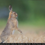 Juvenile Brown Hare by Gianpiero Ferrari, Rolls Royce Derby