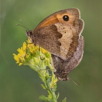 Mating Meadow Browns by Jon Mee, Rolls Royce Derby