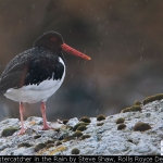 Oystercatcher in the Rain by Steve Shaw, Rolls Royce Derby
