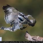 Pied Kingfisher Landing by Jamie MacArthur, Rolls Royce Derby