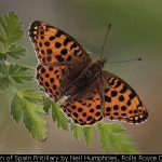 Queen of Spain Fritillary by Neil Humphries, Rolls Royce Derby