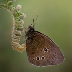 Ringlet on Bracken Frond by Jon Mee, Rolls Royce Derby