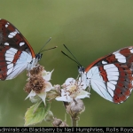 White Admirals on Blackberry by Neil Humphries, Rolls Royce Derby