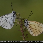 Black Veined Whites by Neil Humphries, Rolls Royce Derby PS
