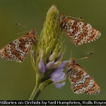Glanville Fritillaries on Orchids by Neil Humphries, Rolls Royce Derby PS