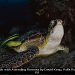 Green Turtle with Attending Remora by David Keep, Rolls Royce Derby PS