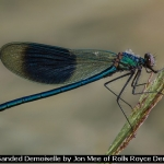 Male Banded Demoiselle by Jon Mee of Rolls Royce Derby PS