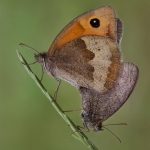 Mating Meadow Browns by Jon Mee, Rolls Royce Derby PS