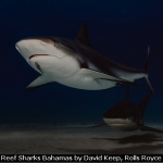 Patrolling Reef Sharks Bahamas by David Keep, Rolls Royce Derby PS