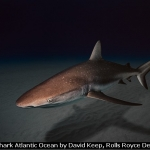 Reef Shark Atlantic Ocean by David Keep, Rolls Royce Derby PS