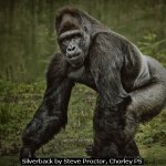 Silverback by Steve Proctor, Chorley PS