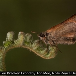 Skipper on Bracken Frond by Jon Mee, Rolls Royce Derby PS