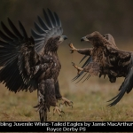 Squabbling Juvenile White-Tailed Eagles by Jamie MacArthur, Rolls Royce Derby PS