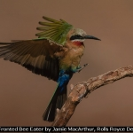 White Fronted Bee Eater by Jamie MacArthur, Rolls Royce Derby PS