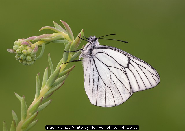 Black Veined White by Neil Humphries, RR Derby