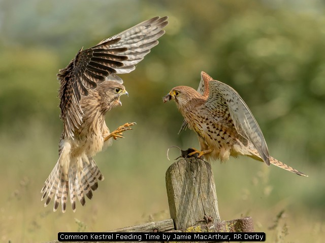 Common Kestrel Feeding Time by Jamie MacArthur, RR Derby