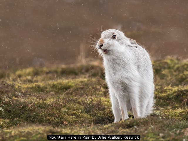 Mountain Hare in Rain by Julie Walker, Keswick
