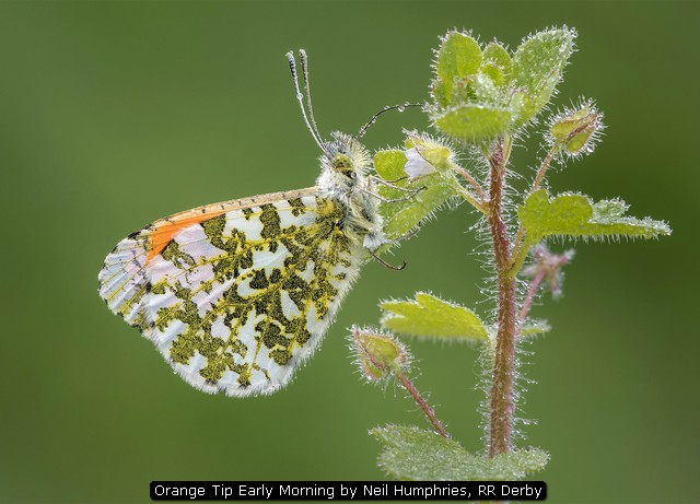 Orange Tip Early Morning by Neil Humphries, RR Derby