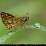 Chequered Skipper among Morning Dew by Gianpiero Ferrari, RR Der