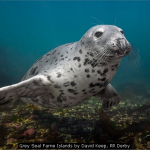 Grey Seal Farne Islands by David Keep, RR Derby