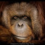 Orangutan by Stephanie Fleig, Chorley