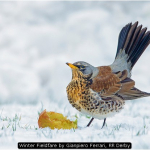 Winter Fieldfare by Gianpiero Ferrari, RR Derby