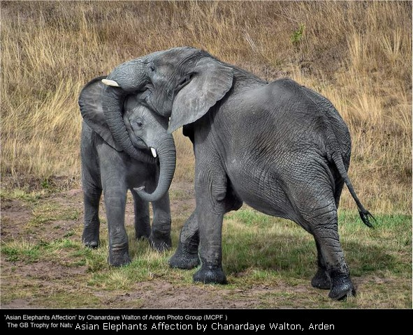Asian Elephants Affection by Chanardaye Walton, Arden