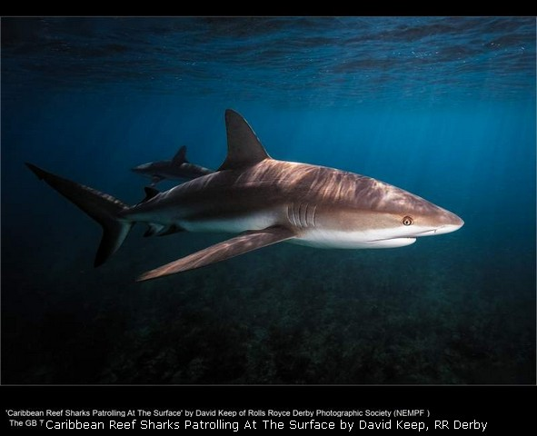 Caribbean Reef Sharks Patrolling At The Surface by David Keep, R