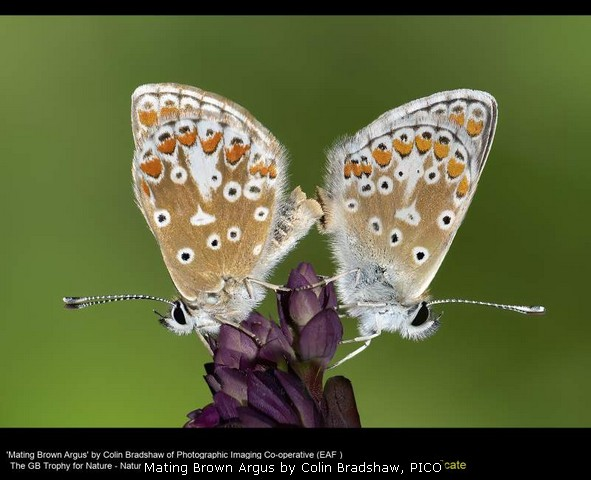 Mating Brown Argus by Colin Bradshaw, PICO