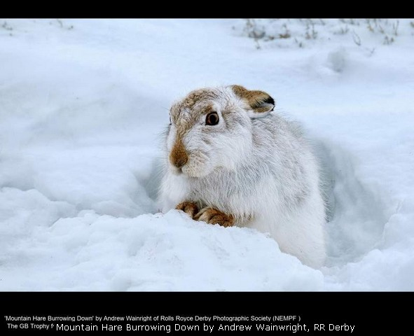 Mountain Hare Burrowing Down by Andrew Wainwright, RR Derby