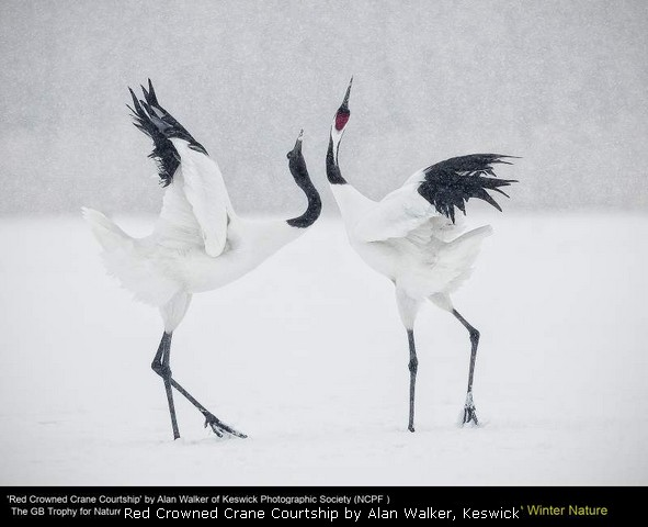 Red Crowned Crane Courtship by Alan Walker, Keswick