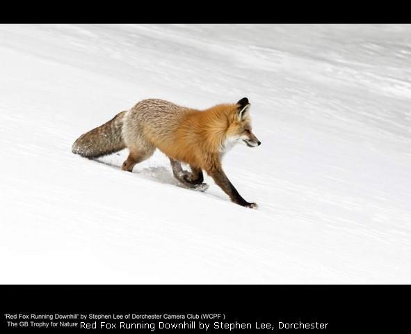 Red Fox Running Downhill by Stephen Lee, Dorchester