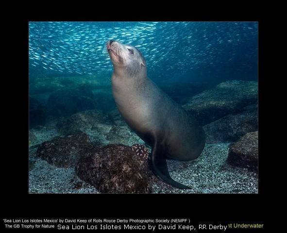 Sea Lion Los Islotes Mexico by David Keep, RR Derby