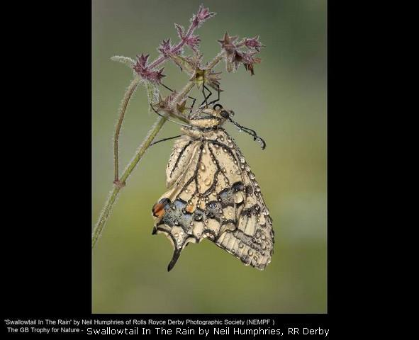 Swallowtail In The Rain by Neil Humphries, RR Derby