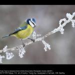 Blue Tit on Frosty Twig by Gianpiero Ferrari, RR Derby