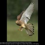 Female Kestrel in Flight by Jamie Macarthur, RR Derby