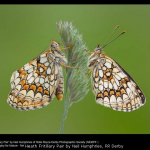 Heath Fritillary Pair by Neil Humphries, RR Derby