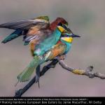 Making Rainbows European Bee Eaters by Jamie Macarthur, RR Derby