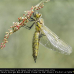 Newly Emerged Broad Bodied Chaser by Alan Storey, Poulton Le Fyl