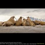 Svalbard Walrus Pod by Jane Lee, Dorchester